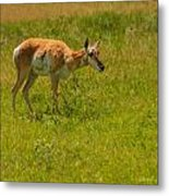 Portrait Of A Young Pronghorn Metal Print