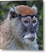 Portrait Of An Adult Patas Monkey II Metal Print