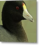 Portrait Of An American Coot Metal Print