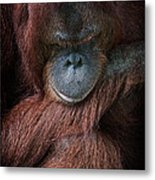 Portrait Of An Orangutan Metal Print