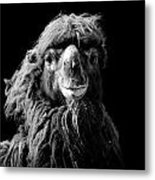 Portrait Of Camel In Black And White Metal Print