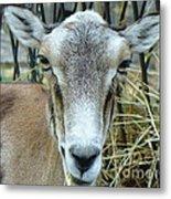Portrait Of Mouflon Ewe Metal Print