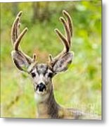 Portrait Of Mule Deer Buck With Velvet Antler  Metal Print