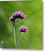 Portrait Of Purple Verbena Metal Print