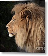 Portrait Of The King Of The Jungle  Metal Print