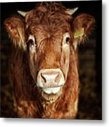 Portrait Of Young Cow Metal Print