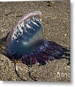 Portuguese Man-o War Beached Metal Print