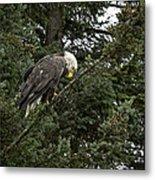 Posing Bald Eagle Metal Print