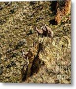 Posing Bighorn Sheep Metal Print