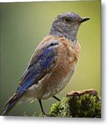 Posing Bluebird Metal Print