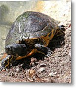 Possible Cooter Turtle Metal Print