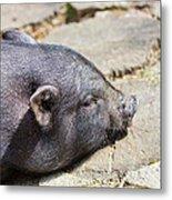 Potbelly Pig Metal Print