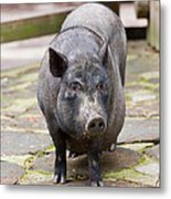 Potbelly Pig Standing Metal Print