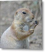 Prairie Dog Cleaning His Teeth Metal Print