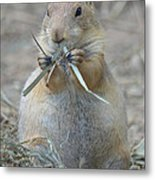 Prairie Dog Food Metal Print