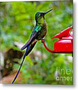 Pretty Blue-tailed Hummer In Mindo Metal Print