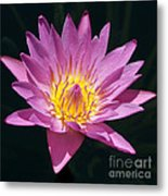 Pretty In Pink And Yellow Water Lily Metal Print