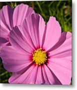 Pretty In Pink Cosmos Metal Print