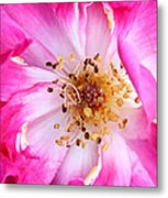 Pretty In Pink Rose Close Up Metal Print