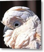 Pretty In Pink Salmon-crested Cockatoo Portrait Metal Print