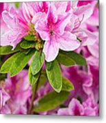 Pretty In Pink - Spring Flowers In Bloom. Metal Print