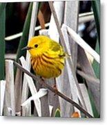 Pretty Little Yellow Warbler Metal Print