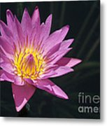 Pretty Pink And Yellow Water Lily Metal Print
