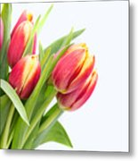 Pretty Red And Yellow Tulips On White Background Metal Print