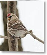 Pretty Redpoll Metal Print