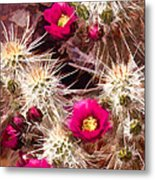Prickley Cactus Plants Metal Print