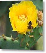 Cedar Park Texas Prickly Pear Cactus In Flower Metal Print
