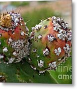 Prickly Pear With Cochineal Bugs Metal Print