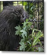 Prickly Pete Metal Print