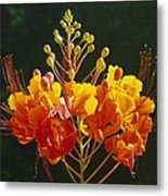 Pride Of Barbados Metal Print