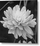 Prissy In Black And White Metal Print