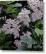 Privet Blossoms 2 Metal Print