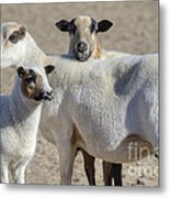 Professional Sheep Metal Print