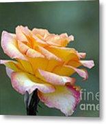 Profile View Yellow And Pink Rose Metal Print