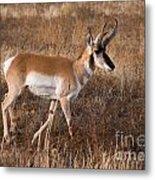 Pronghorn Antelope 2 Metal Print