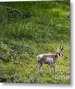Pronghorn Antelope Among Wildflowers Metal Print