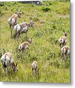 Pronghorn Antelope In Lamar Valley Metal Print