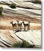 Pronghorn Deer Metal Print