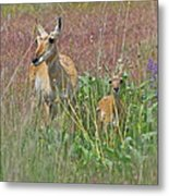 Pronghorn Doe And Fawn Metal Print
