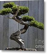 Prostrate Juniper Bonsai Tree Metal Print