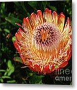 Protea Flower 2 Metal Print