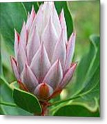 Protea Flower Blossoming Metal Print