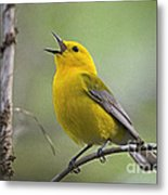 Prothonotary Wabler Metal Print