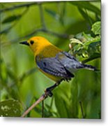 Prothonotary Warble Dsb071 Metal Print