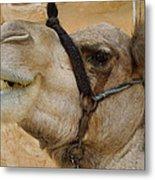 Proud Bou Bou Camel Sinai Egypt Metal Print