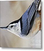 Proud Nuthatch... Metal Print